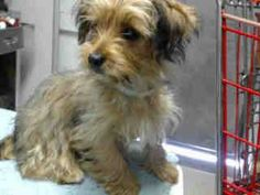 #A4834944 I'm an approximately 4 month old female terrier. I am spayed. I have been at the Carson Animal Care Center since May 27, 2015. I am available on May 27, 2015. You can visit me at my temporary home at C209. Carson Shelter, Gardena, California https://www.facebook.com/171850219654287/photos/pb.171850219654287.-2207520000.1433020287./425207994318507/?type=3&theater