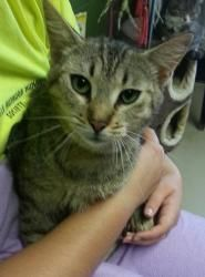 Amber 18530 is an adoptable Domestic Short Hair Cat in Prattville, AL.  Amber is a 1-year old female tabby. Her coat is unique as she is a tabby, but not in the traditional way. Amber is a flecked ta...