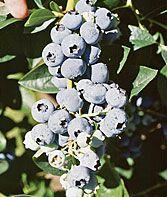 Blueberry, Toro