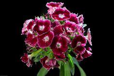 Crimson tide : Dianthus barbatus (sweet william) macro by Greg Kirkpatrick on 500px