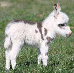 Bébé âne…