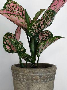 Indoor Garden, Indoor Plants, Chinese Money Plant, Chinese Plants, Chinese Evergreen Plant, Colorful Plants, Colorful Decor, Low Light Plants, Plants Are Friends