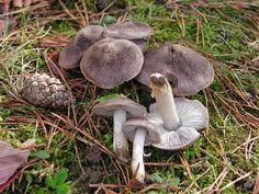 LAS 7 VARIEDADES DE SETAS MÁS CONOCIDAS Y COMESTIBLES Fungi, Nature Photos, The Great Outdoors, Stuffed Mushrooms, Ferns, Biology, Autumn, Ideas, Mushrooms