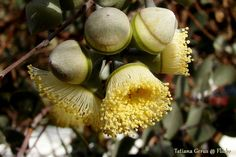 Eucalyptus orbifolia, Round-leaved Mallee.