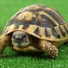 Captive bred baby Hermann Tortoise 2016 (microchipped with certificate) Our Hermann tortoises are 1 year old and will grow to about Baby Tortoise For Sale, Cute Tortoise, Tortoise Care, Tortoise Turtle, Tortoise Pictures, Hermann Tortoise, Kawaii Turtle, Sulcata Tortoise, Russian Tortoise