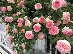 Roser#sommer#Willestrup#Garden#