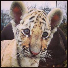 SURIA II - TIGER
