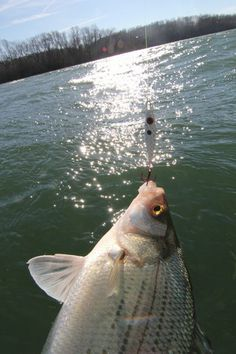 FLE FLY Classic Spoon. Photo copyright Brad Wiegmann Outdoors. http://www.bradwiegmann.com/lures/crappie-lures/1201-how-to-catch-grand-lake-white-bass-and-crappie.html