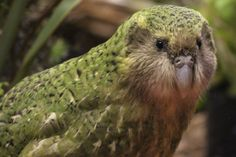 New Zealand's Conservation Minister Maggie Barry isnt counting her chicks before they hatch but shes tipping 2016 as the best-ever kakapo breeding season: