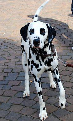 msh0509-14 Dalmatian    Like and repin please :)