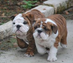 The major breeds of bulldogs are English bulldog, American bulldog, and French bulldog. The bulldog has a broad shoulder which matches with the head. Cute Puppies, Dogs And Puppies, Cute Dogs, Doggies, Terrier Puppies, Corgi Puppies, Boston Terriers, Animals And Pets, Baby Animals