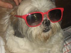 Lhasa Apso dog in glasses photo and wallpaper. Beautiful Lhasa Apso dog in glasses pictures