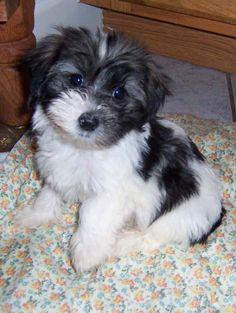 havanese | Havanese Puppies | Havanese Breeder | Havanese Puppies and Dogs for ...