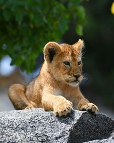 Lion cub Cute Baby Animals, Animals And Pets, Nature Animals, Beautiful Cats, Animals Beautiful, Big Cats, Cute Cats, Le Roi Lion, Lion Cub