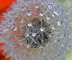 Drops on dandelion | 0019 Water droplets on a dandelion, clo… | Flickr