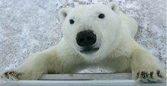 See a Polar Bear up close
