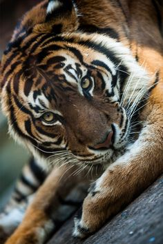 """ Eye of the tiger ~ By Stefano Catalani """