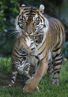 Leanne carries her Sumatran tiger cub at their outdoor enclosure. Photo: Paul Chinn, The Chronicle Animals Images, Cute Animals, Animal Photography, Nature Photography, San Francisco Zoo, In The Zoo, Tiger Cub, Black Neon, Big Cats