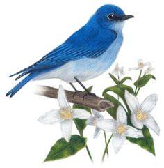 The Bluebird, Idaho's State Bird