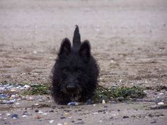 LOOK AT THOSE PUPPY EARS. | 21 Reasons Scottish Terriers Are The Champions Of Our Heart