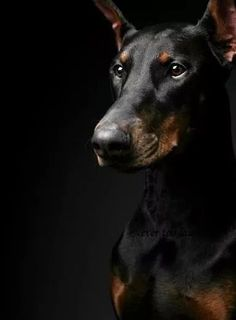 Doberman Pinscher , I can't say enough how beautiful these dogs really are. Both in body and soul. Rottweiler, Doberman Pinscher Dog, Doberman Love, My Animal, Mans Best Friend, Dog Life, I Love Dogs, Bull Terrier, Best Dogs