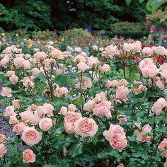 'Johann Strauss rose - Google Search