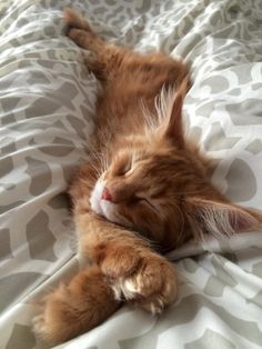 petitpoulailler:  cuteanimalspics: We got an orange flavoured Maine Coon (Source: …