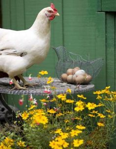 13 ways to prevent poultry disease: follow these tips and keep your birds healthy! | Living the Country Life | http://www.livingthecountrylife.com/animals/chickens-poultry/13-ways-prevent-poultry-disease/