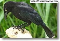 Carib Grackle http://birds-of-tobago.blogspot.com/2013/10/carib-grackle.html  #Carib Grackle #grackles #blackbirds #birds #Tobago #West Indies #Caribbean