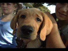 Guide dog puppy - YouTube
