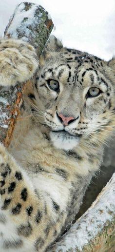 Phantera uncia. #snowleopard