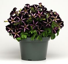 Phantom Petunia - Gotta have it! Different Flowers, Unique Flowers, Beautiful Flowers, Midnight Garden, Black Flowers, Container Flowers, Outdoor Settings, Shades Of Black, Flowers