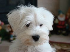 White Schnauzer, Schnauzer,Mini Schnauzer by freeuyen, via Flickr