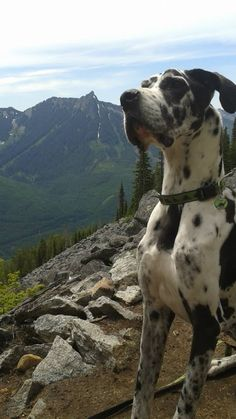 Who said Great Danes can't hike? Toki is seen here near the peak of the Ira Spring Trail to Mason lake at 4,320 feet. Toki has always been athletic for a Dane and an adventurer at heart.