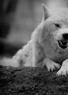 white wolf *moon moon*