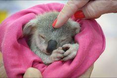 Blondie, orpheline sauvée du Queensland