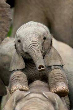Upside down heart on baby elephant trunk - SO sweet! Beautiful Creatures, Animals Beautiful, Cute Baby Animals, Funny Animals, Elephas Maximus, Elephant Love, Baby Elephants, Elephants Photos, Happy Elephant