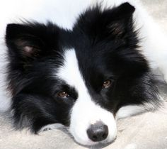 Shop Happy Birthday Border Collie Puppy Dog Post Card created by LoveandSerenity. Personalize it with photos & text or purchase as is! Border Collie Welpen, Perros Border Collie, Border Collie Puppies, Collie Dog, Cute Puppies, Cute Dogs, Dogs And Puppies, Doggies, Animals And Pets
