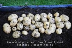 harvested yukon gold potatoes! DIY garden - plans and how to garden found on link