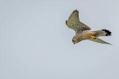 Romanian Falco. Photographed in Vacaresti Delta near Bucharest City. @ andrei raceala
