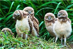 burrowing owls stretching their necks