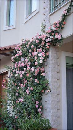 Alchemyst Rose in spring, wish mine was this vigorous