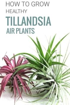 Air plants don't need any soil to thrive, but they do need more than just air to grow. Find out how to water and care for your air plants. | Learn more at modandmint.com | #airplants #tillandsia #indoorplants #bathroomplants #garden #gardenideas Garden Cactus, Succulents Garden, Cactus Plants, Garden Plants, House Plants, Planting Flowers, Succulent Planters, Moss Garden, Garden Gnomes