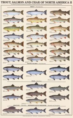 Trout, Salmon & Char of North America II (Females) - Poster