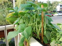 'Jade' green beans growing in a window box.  To learn more about growing green beans, see www.grow-it-organically.com/growing-green-beans.html
