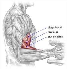 Building arm muscles: biceps, triceps and forearms. Function, anatomy and the best muscle mass building exercises for arms. Workout examples and general information. Muscle Training, Weight Training, Biceps Training, Training Exercises, Workout Exercises, Training Tips, Strength Training, Reto Fitness 30 Dias, Hammer Curls Biceps