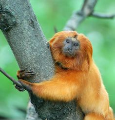 The Golden Lion Tamarin is a very small monkey native to coastal Brazil