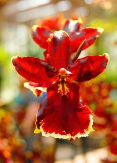 Orchid's Fire