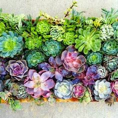 98  Succulents come in many sizes, shapes, and colors. Bring the ombre trend to your garden by displaying a bed of succulents arranged by color spectrum. This arrangement would work well as a tabletop decoration or a piece of wall art.