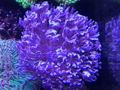 Xenia Blue Pulsating Soft Coral